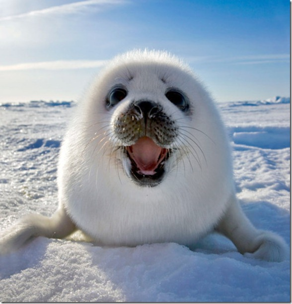 Seal.  Happy.  Picture.  Photopgraph.