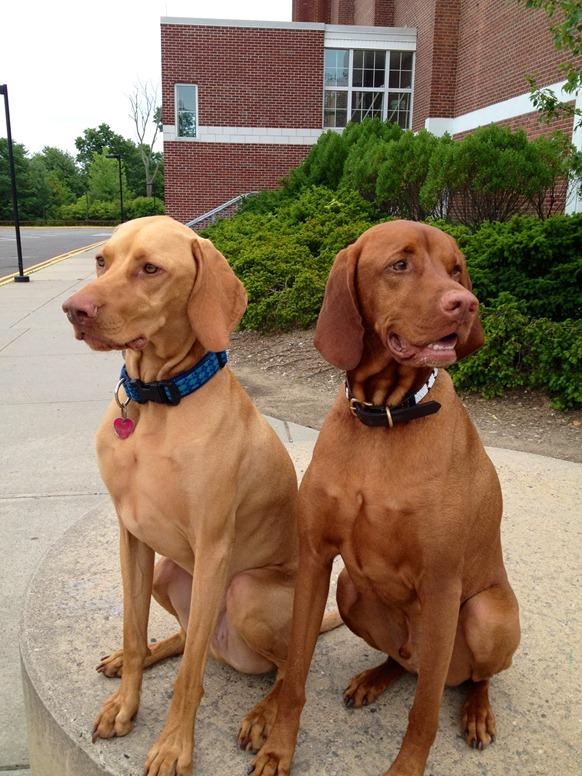 Ralph and Zeke - Vizla Buddies