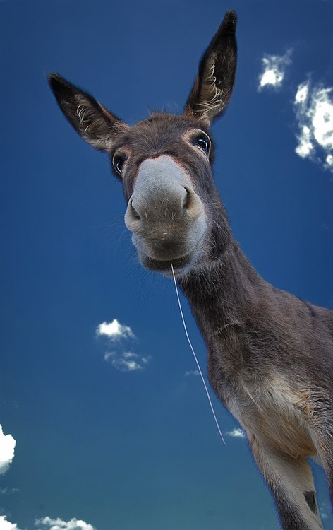 funny donkey, laugh, nature, ass, animal, photograph