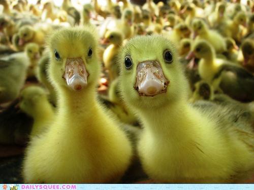 yellow, ducks, duck, bright yellow