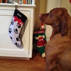Zeke waiting patiently to open his Christmas Stocking
