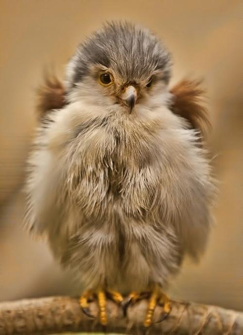 Fuzzy Birdie