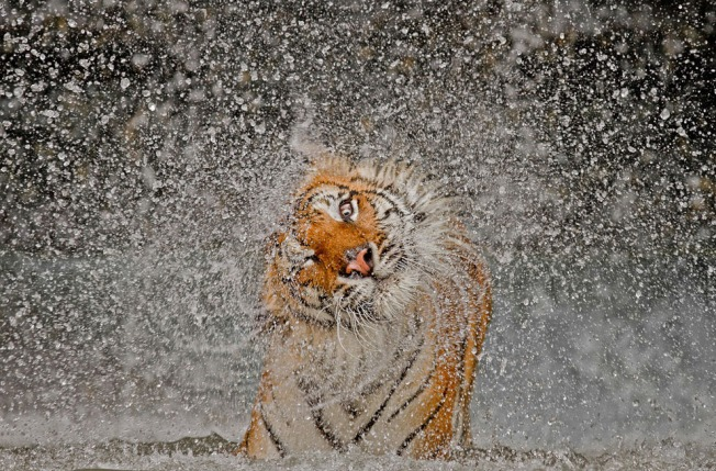 Grand Prize Winner, Busaba, Idochonise Tigress, Thailand