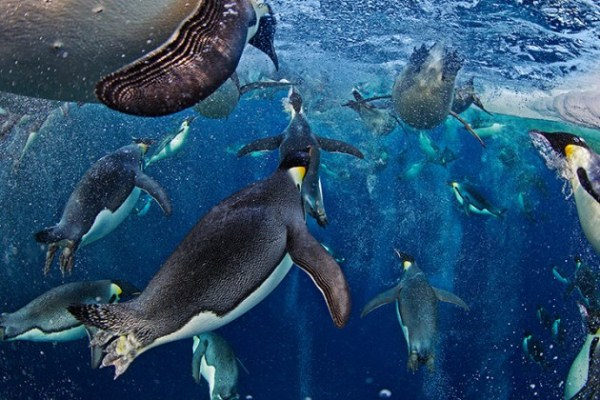 photography, penguins, nature, inspirational,inspiring,paul Nicklen,photo contest,art,antarctica