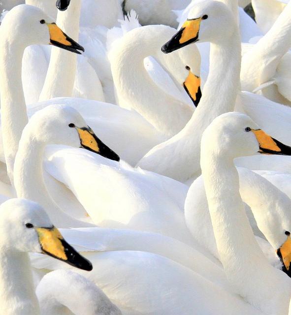 birds, flock, nature, whooper swans, swans, birds, flock, white, yellow