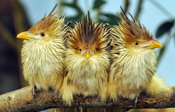 guira cuckoos by Jason Ellison via fairy wren
