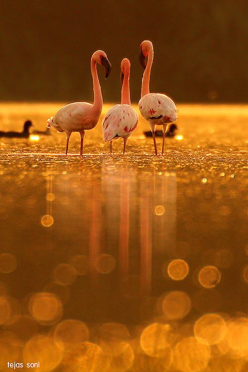 Lesser Flamingo by Tejas Soni