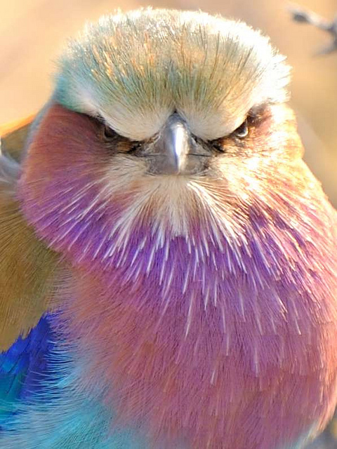 Lilac-Breasted-Roller-Bird-Photo
