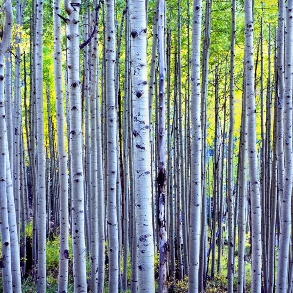 forest, woods, aspen, birch,trees