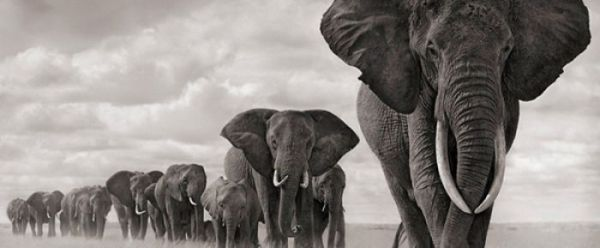 elephants, black and white, photography