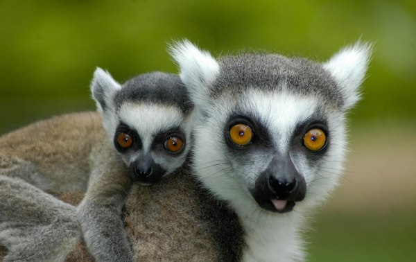 Baby-lemur-hitching-a-ride-with-mom