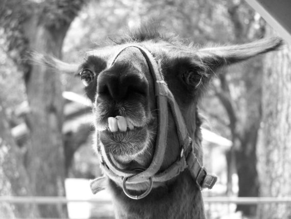 Llama on Farm Funny Teeth