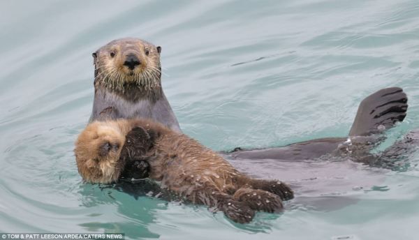 Northern Sea Otter and baby