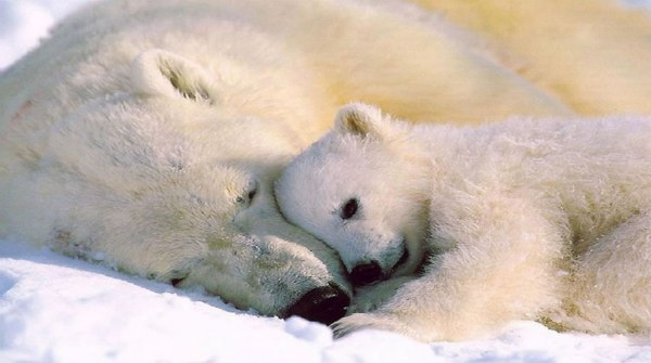 polar-bear-snuggle-love