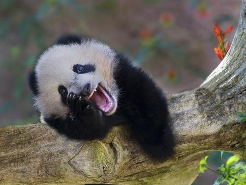 laughing-animals-koala-bear