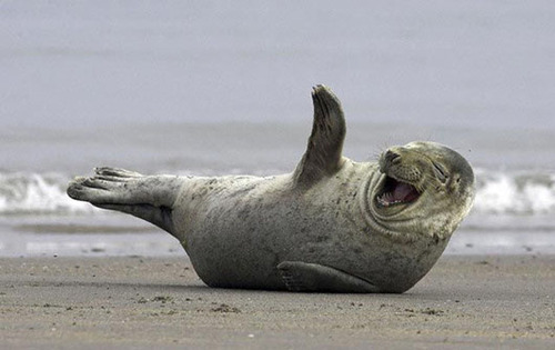 laughing-animals-seal