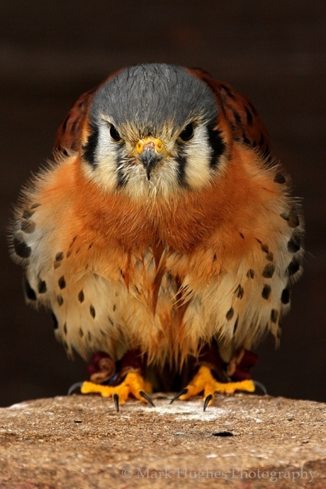 American Kestrel,bird,photography