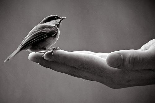 photography, black and white, bird, hand, bird in hand