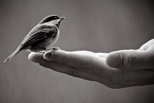 photography, black and white, bird, hand, bird in hand