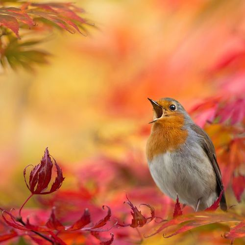 bird-autumn-leaves-sing