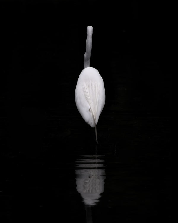 great egret, forest park