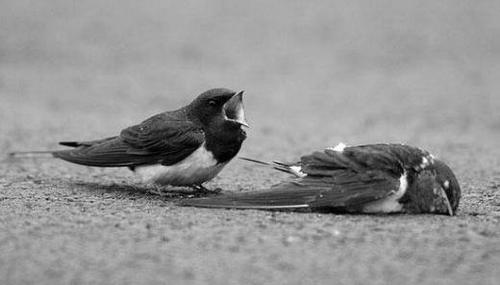 birds2-pain