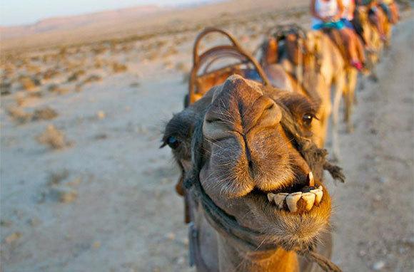 Camel Negev Desert Israel dans immagini