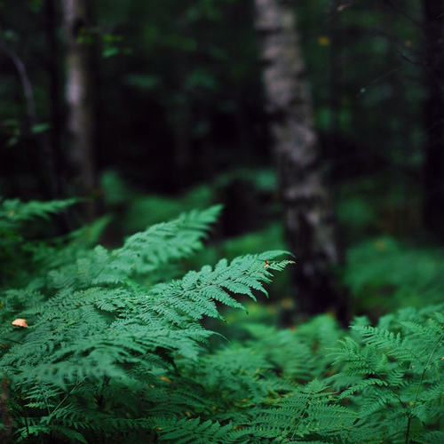 green,photograph,woods,fern,