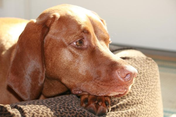 dog,puppy,cute,vizsla