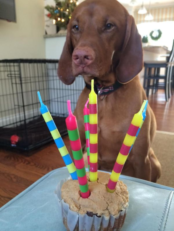 dog, cute, photography,vizsla, cake,birthday