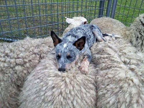 Australian-blue-heeler-dog-cute-sleeping