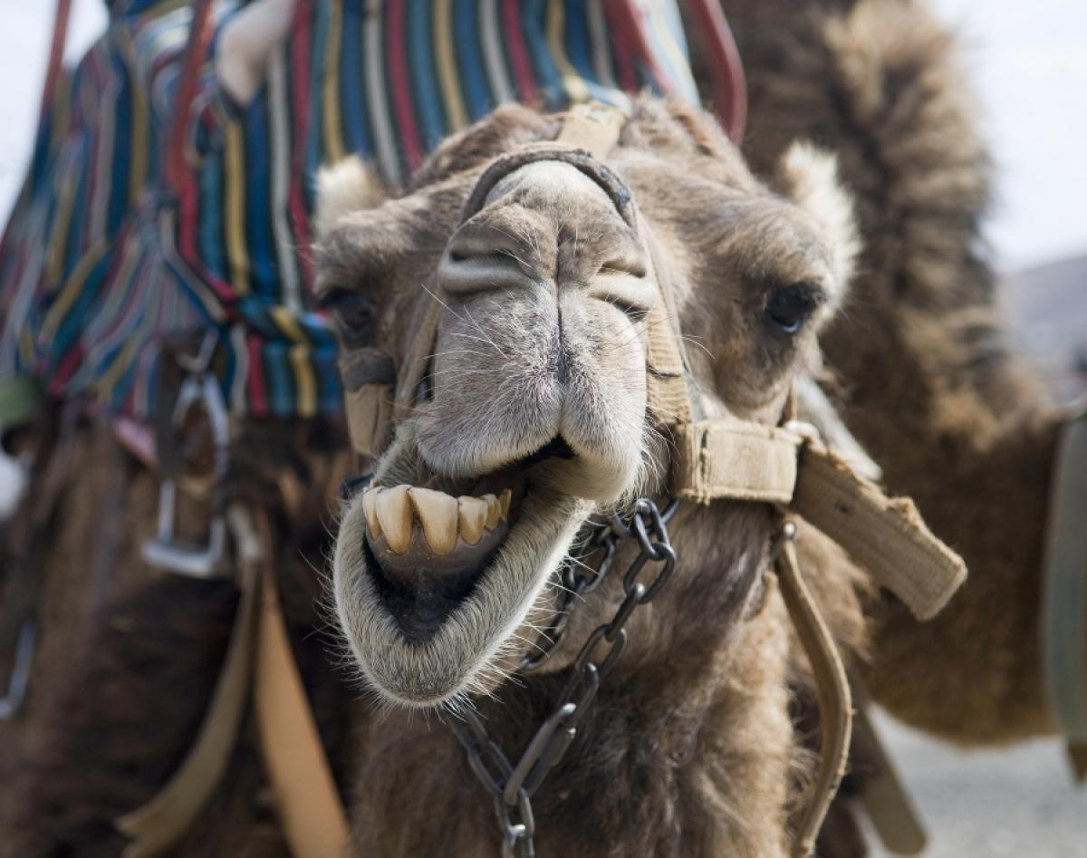 Geico Happy Hump Day Images Hump day, camel,funny,