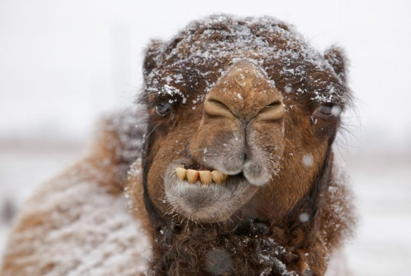 camel-snow-winter-funny-hump-day-caleb