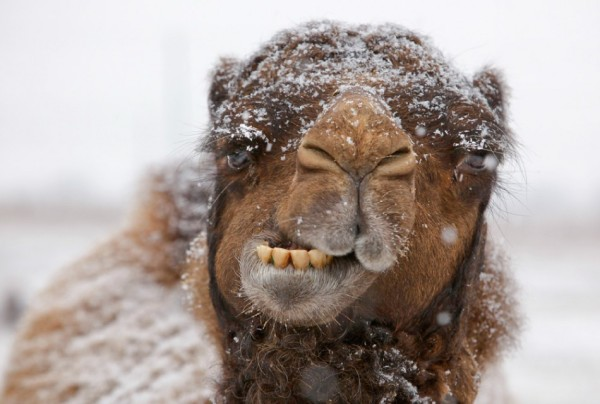 camel-snow-winter-funny-hump-day-caleb
