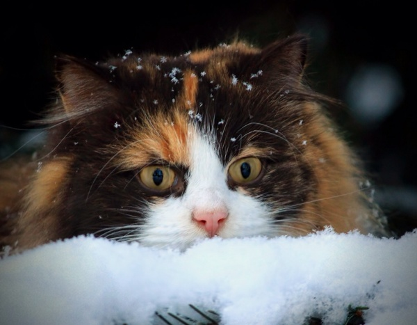 Cat, kitten,cute, snow, winter