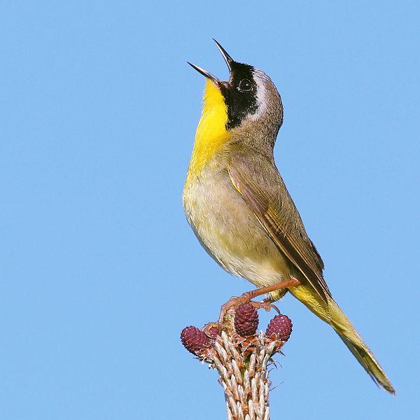 yellow throat,bird,
