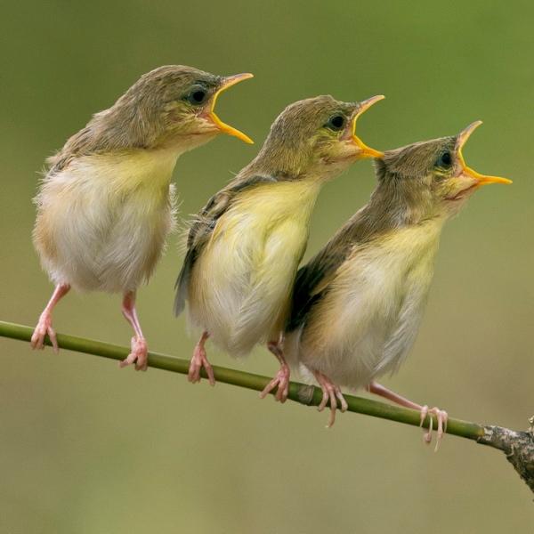birds-sing-call