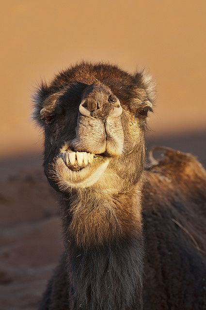 camel-hump-day-April-Fool's