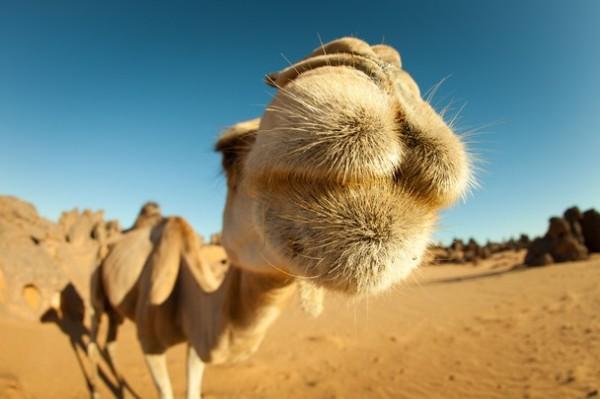 camel-sahara-caleb