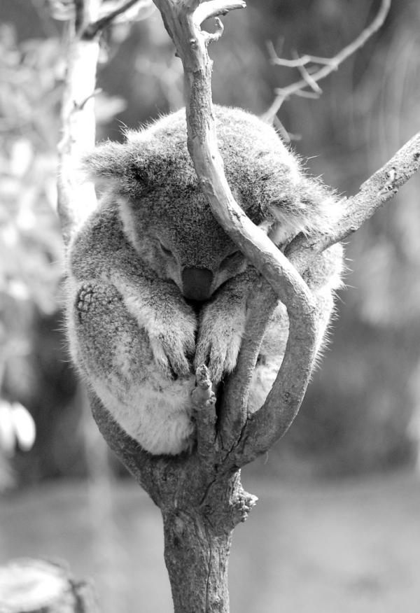 koala-bear-koala bear- sleepy