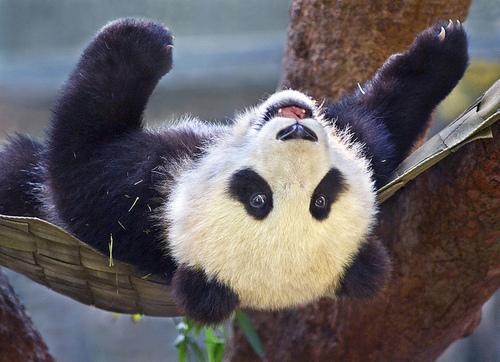 panda-bear-cute-smile-T.G.I.F.-TGIF