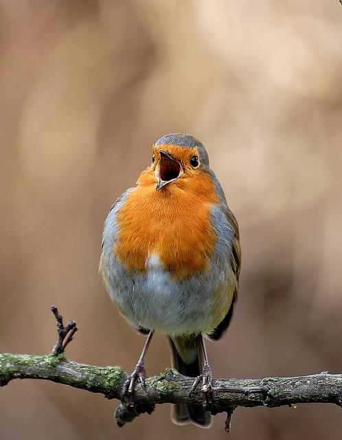 photography, european robin