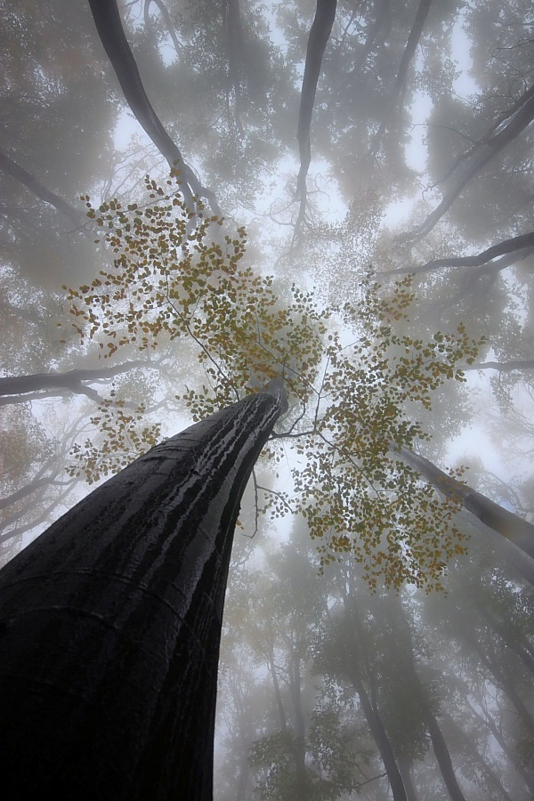 tall-trees-canopy-forest