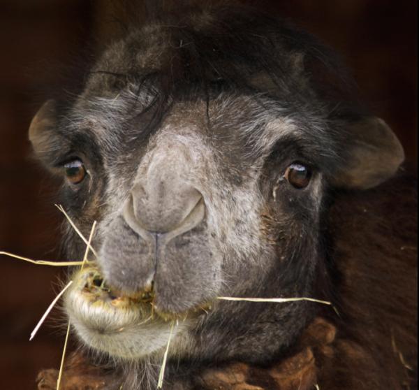 caleb-camel-funny-hump-day