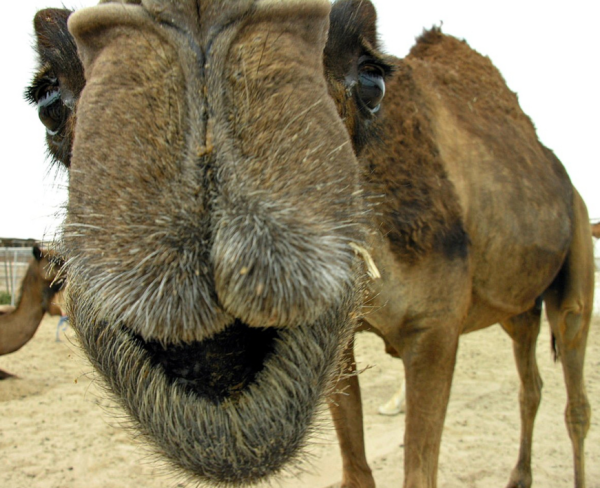 camel-close up-wednesday-hump-day-funny