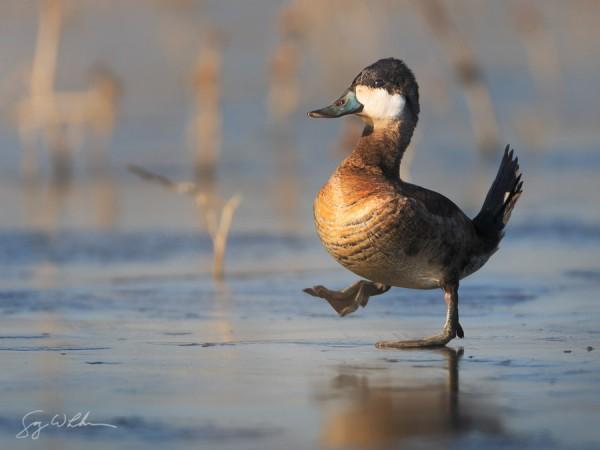 duck-walk-cute-funny
