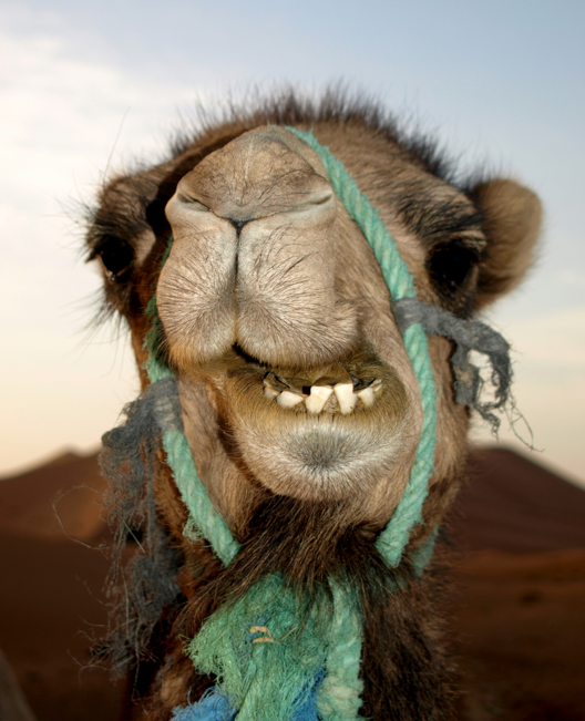caleb-camel-wednesday-hump-day-funny