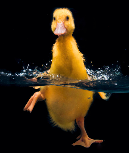 duck-cute-water-swimming