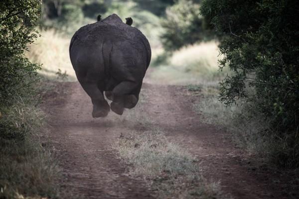 rhino-running