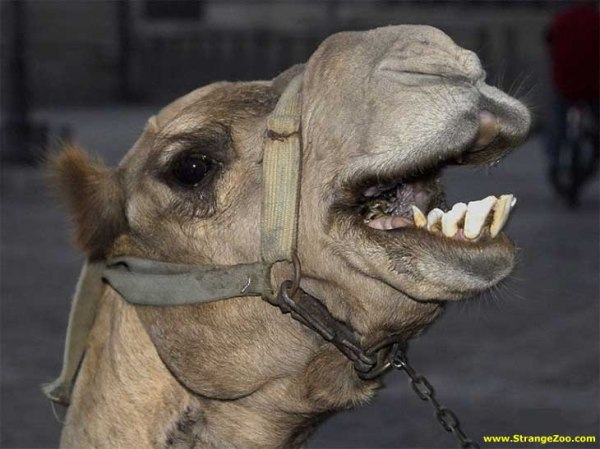 hump-day-wednesday-camel-funny